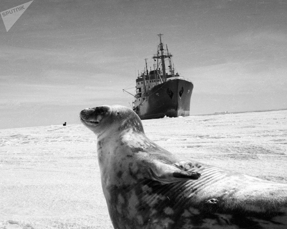 Foka na tle naukowego okrętu na Antarktydzie