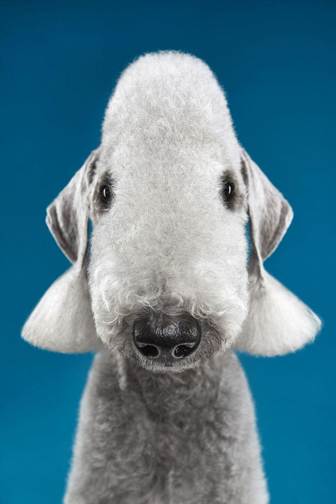 Till, rasa bedlington terrier