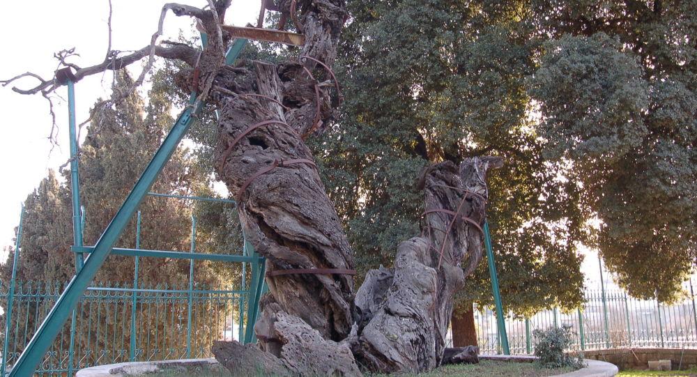 Dąb Abrahama, Palestyna