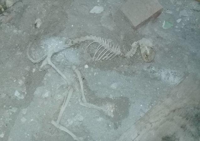Szkielet dinozaura znaleziony w czasie remontu w jednej z uzbeckich wsi