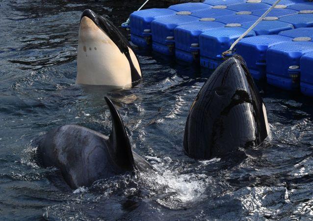 """Orki i bieługi w """"więzieniu wielorybów"""