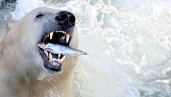 Niedźwiedź polarny w zoo w Hanowerze - Sputnik Polska