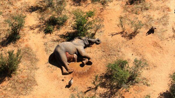 Martwy słoń, Botswana, 2020.  - Sputnik Polska