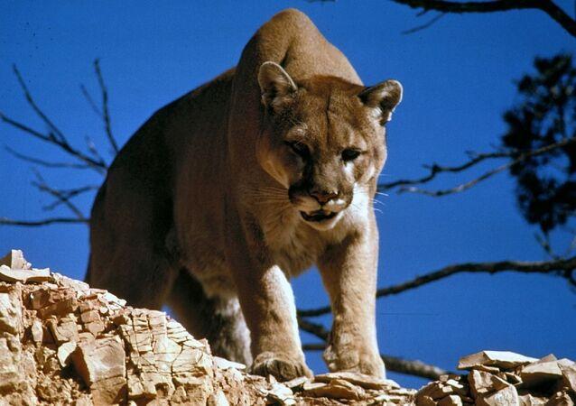 Puma w środowisku naturalnym