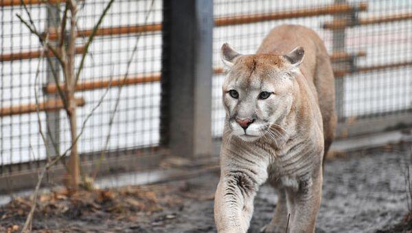 Puma w ZOO - Sputnik Polska
