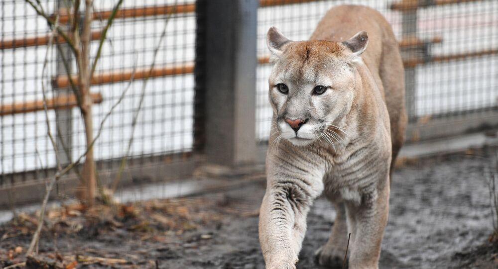 Puma w ZOO