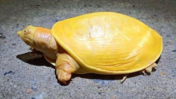 Żółty żółw - Sputnik Polska