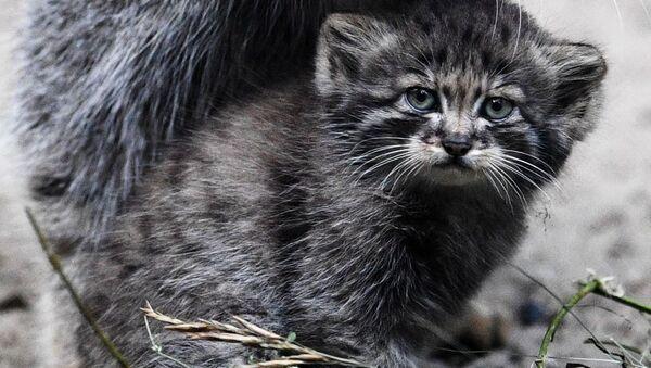 Samica manula i jej mały w Nowosybirskim Zoo - Sputnik Polska