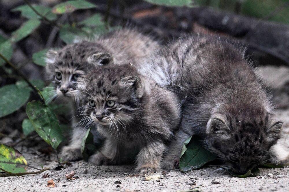 Małe manule w Nowosybirskim Zoo