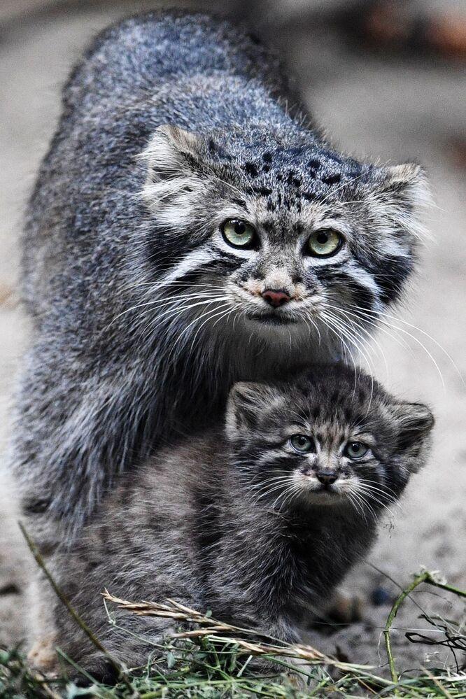 Samica manula i jej mały w Nowosybirskim Zoo