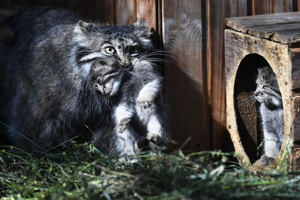 Samica manula i jej młode w Nowosybirskim Zoo
