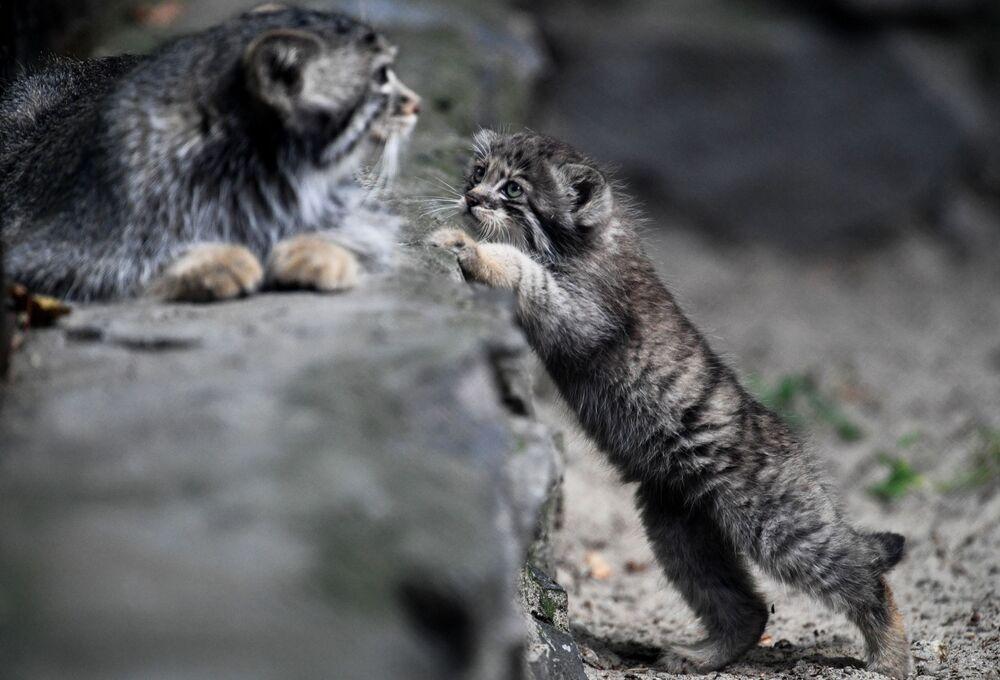 Samica manula i jej młody w Nowosybirskim Zoo