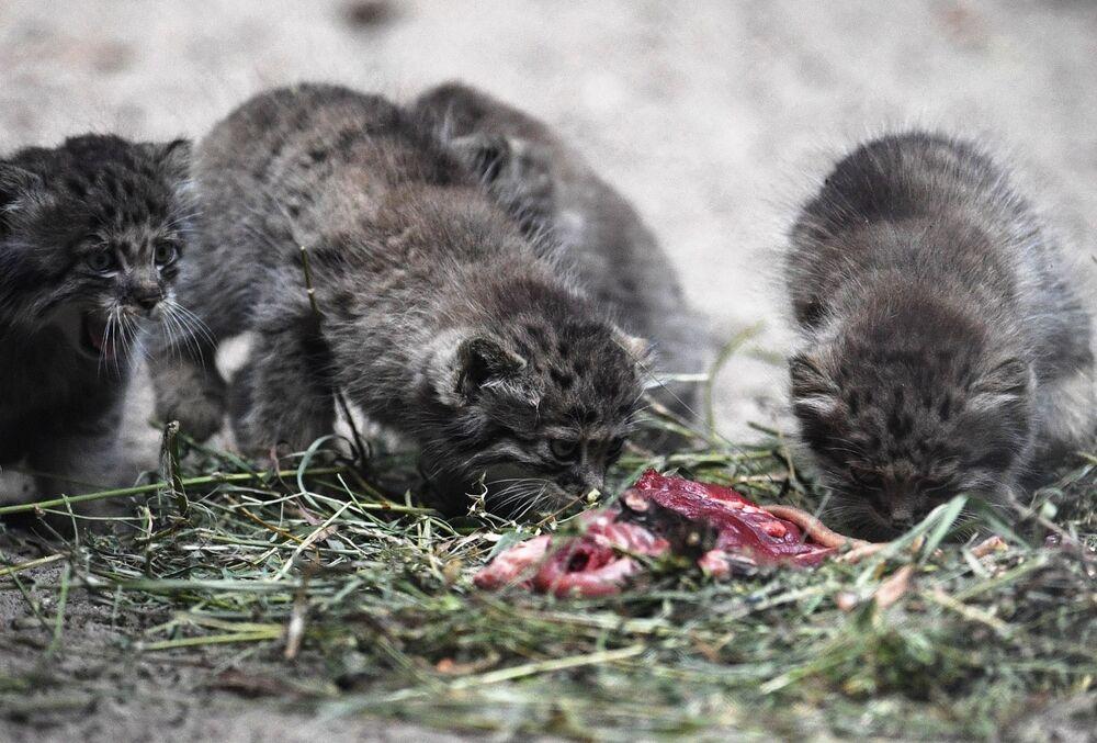 Obiadek. Małe manule w Nowosybirskim Zoo