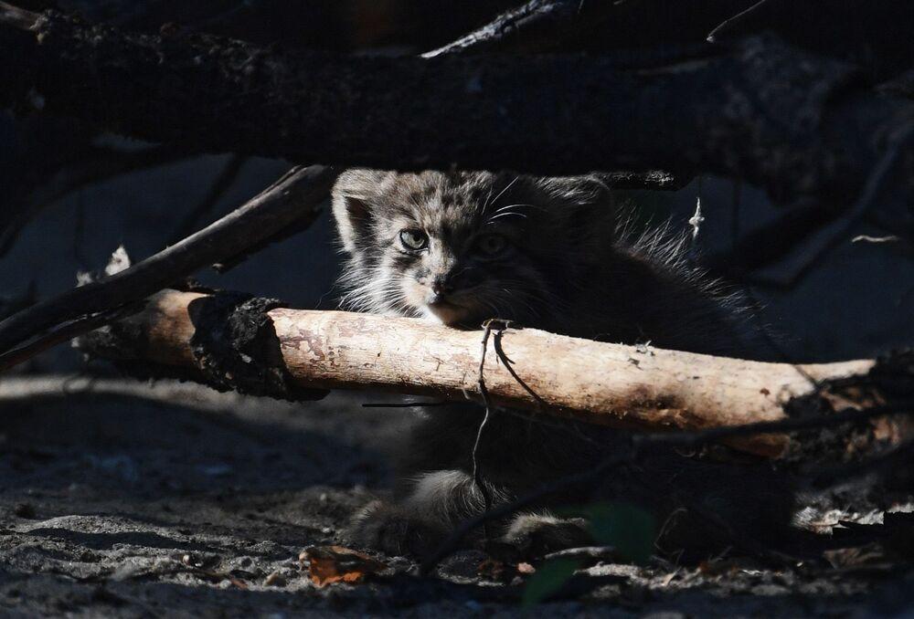 Mały manul w Nowosybirskim Zoo