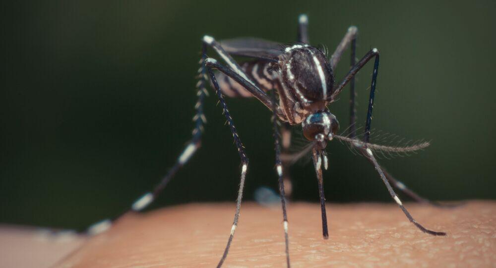 Komar Aedes aegypti na skórze człowieka