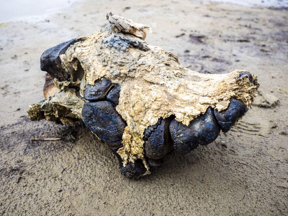 Kości mamuta, znalezione na terenie Jamalsko-Nienieckiego Okręgu Autonomicznego