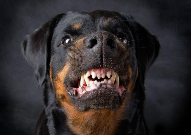 Zły pies rasy Rottweiler