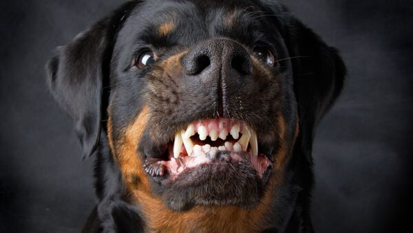 Zły pies rasy Rottweiler - Sputnik Polska