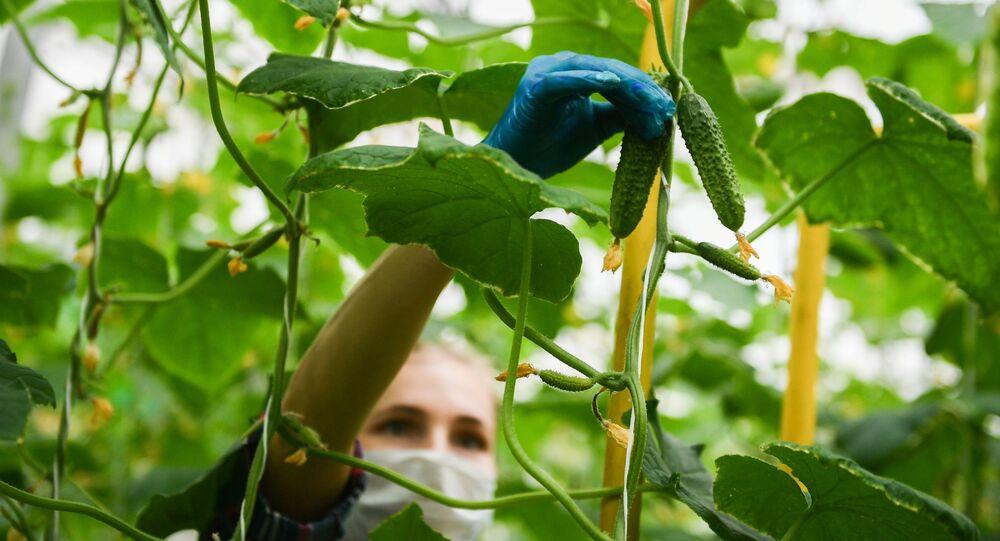 Plantacja ogórków