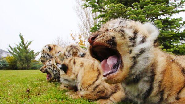 Nowo narodzone młode tygrysy amurskie w parku safari Taigan na Krymie - Sputnik Polska