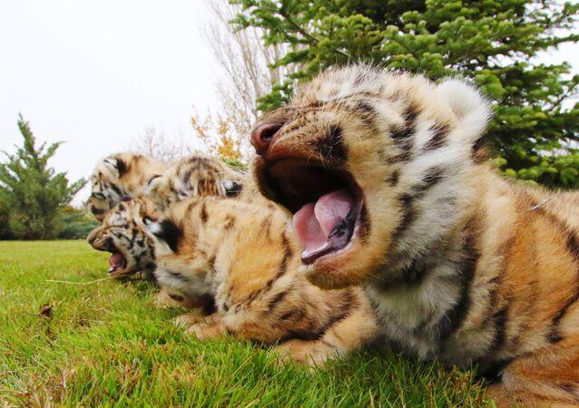 Nowo narodzone młode tygrysy amurskie w parku safari Taigan na Krymie
