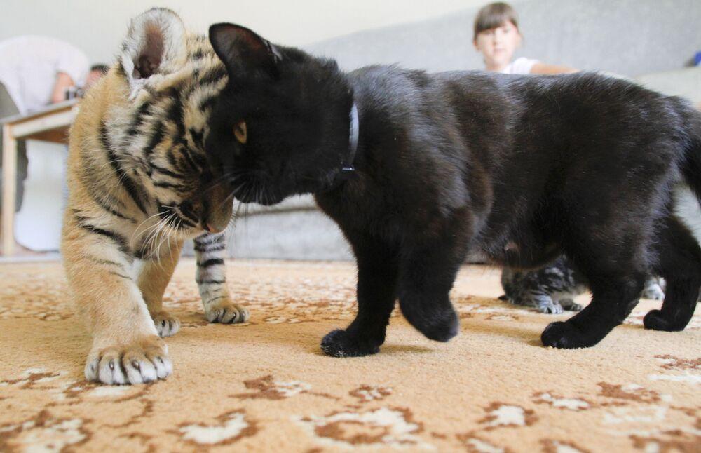 Tygrys amurski bawi się z kotem w domu w Soczi