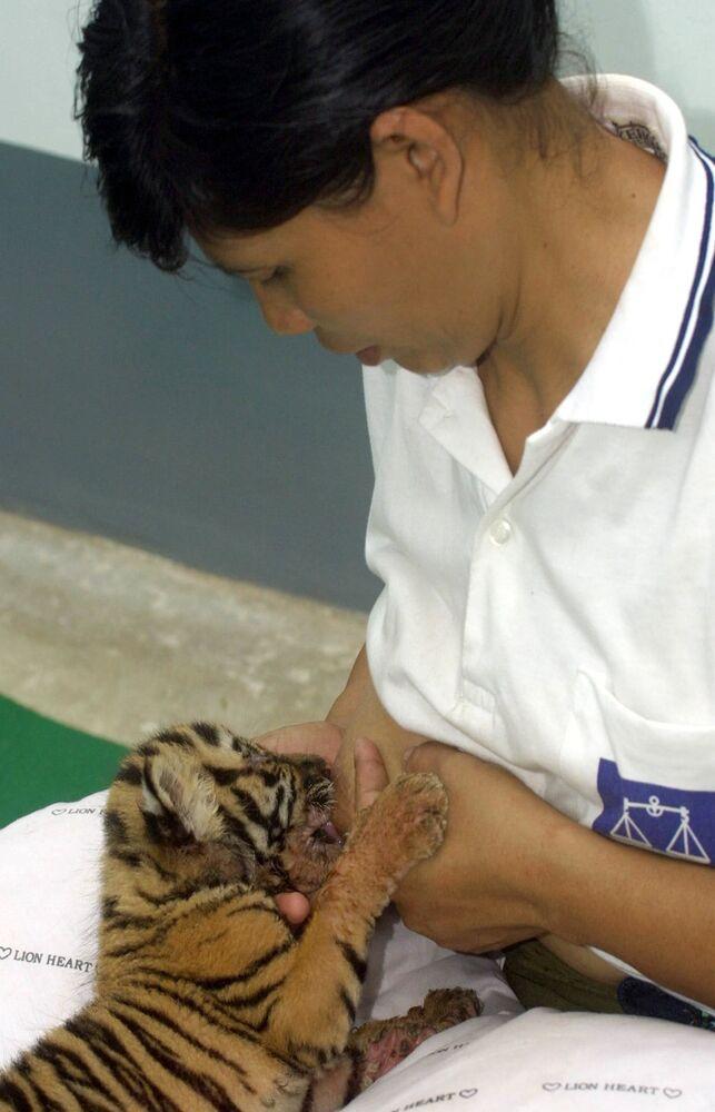 Kobieta karmi piersią młode tygrysy w ogrodzie zoologicznym w Birmie