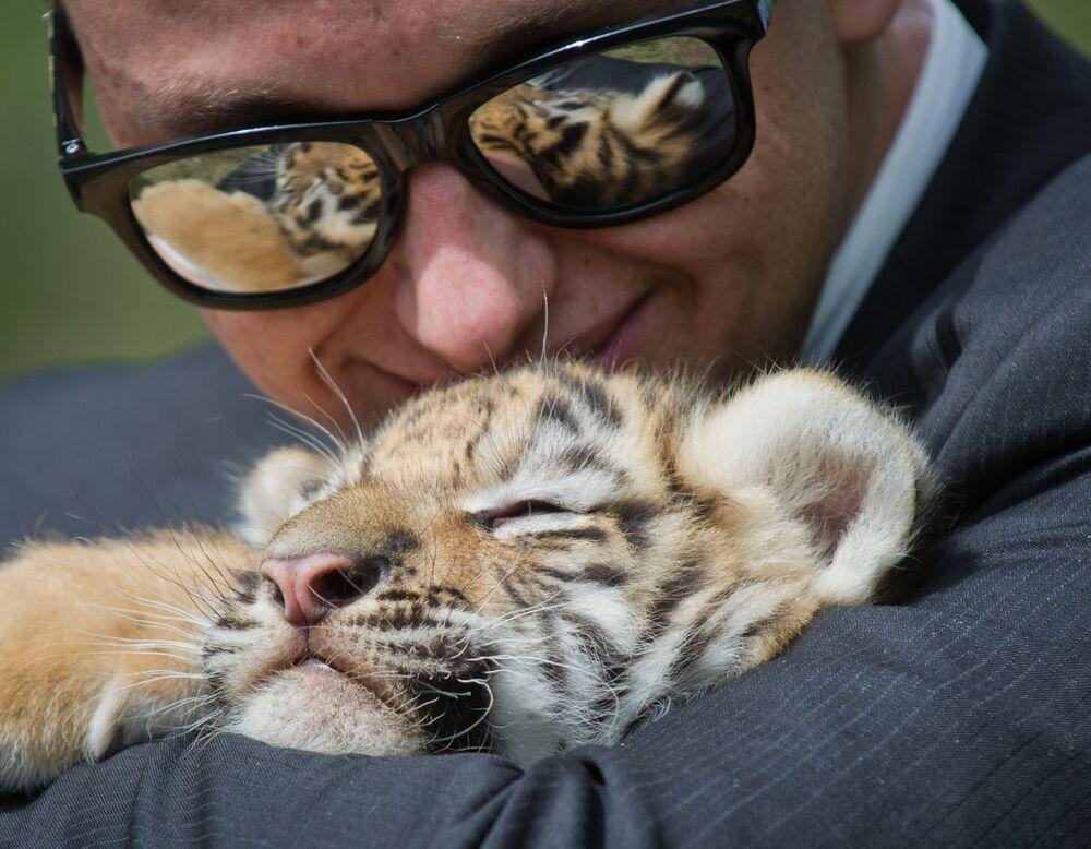 """Tygrysiątko z jednym z gości podczas tradycyjnego wiosennego wypuszczania zwierząt z klatek na otwarte wybiegi w krymskim parku safari """"Taigan"""""""