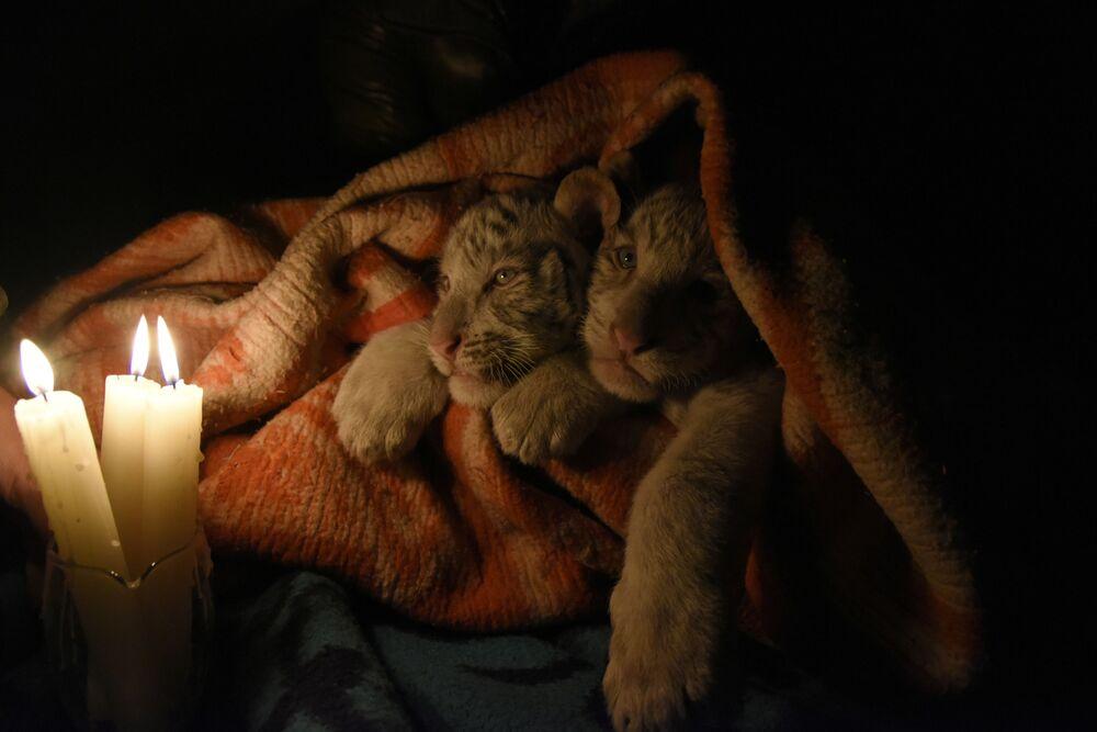 Młode bengalskie tygryski zawinięte w koc w ogrodzie zoologicznym w Jałcie