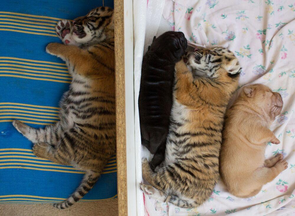 Nowo narodzone tygryski i szczenięta