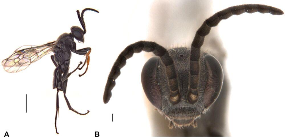 Nowy gatunek osy-pająka Epipompilus namadgi