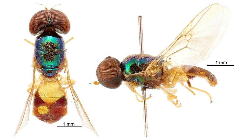 Samiec nowego gatunku Microchrysa wrightae