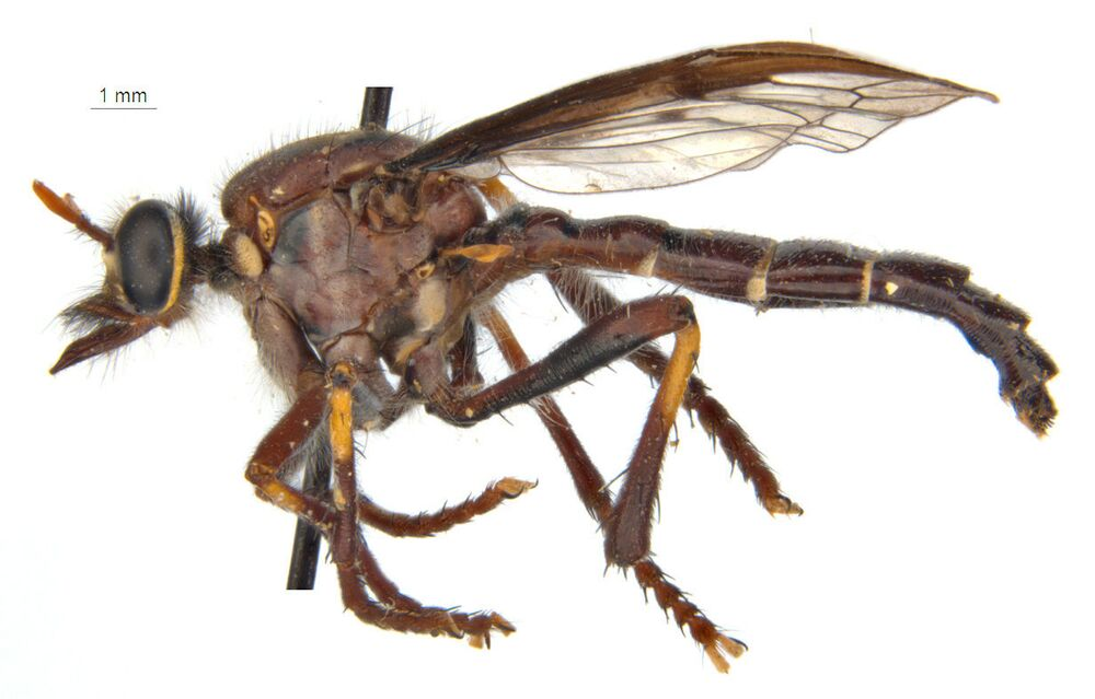 Mucha Thora (Daptolestes bronteflavus)