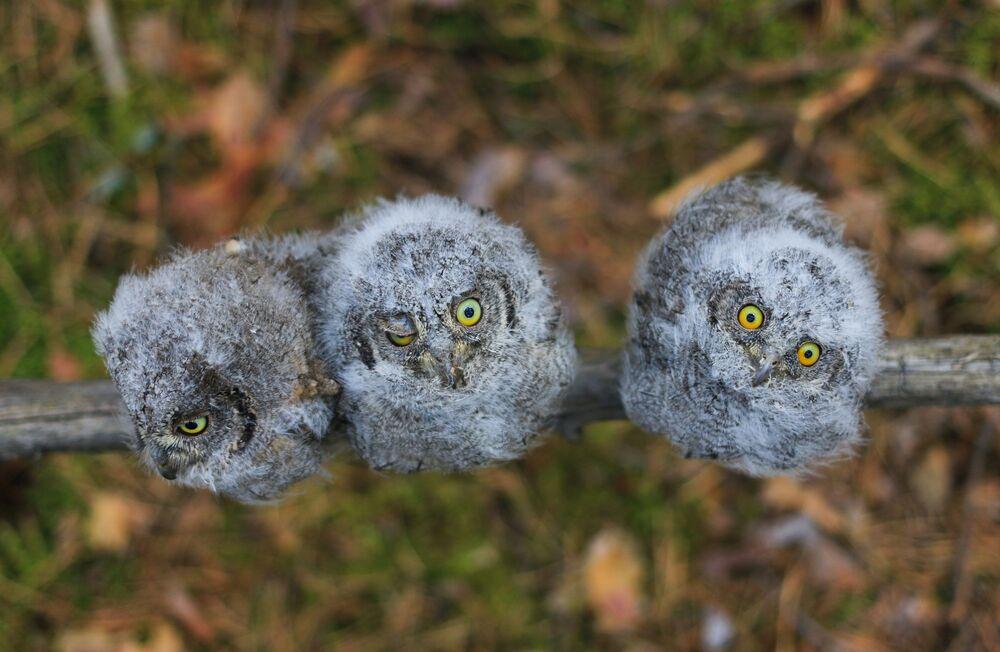 """""""Syczki"""", nominacja """"Te śmieszne zwierzęta"""". Fotograf: Aleksandr Lewaszkin, Niżny Nowogród"""
