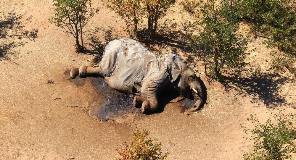 Słoń w Botswanie