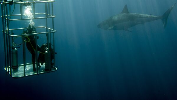 Nurkowanie w klatce z rekinami - Sputnik Polska