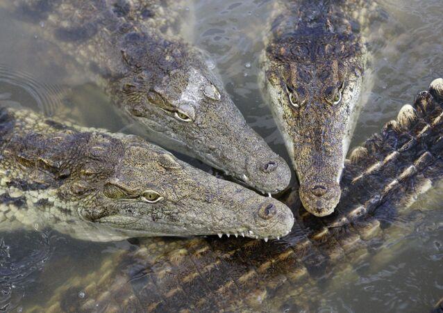 Krokodyle.