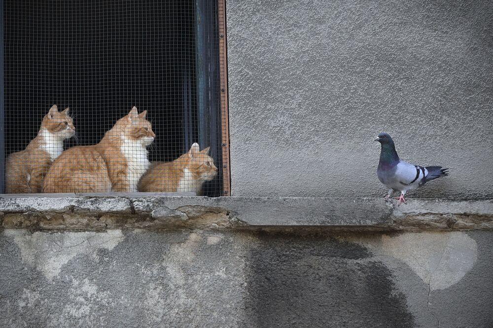 Koty patrzą na gołębia z okna domu w Bukareszcie