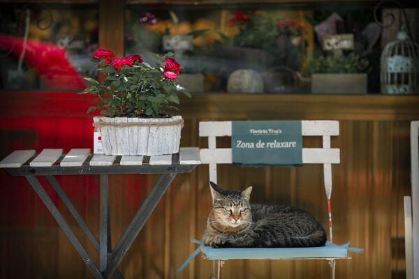 Kot siedzi na krześle przed kwiaciarnią w Bukareszcie w Rumunii - Sputnik Polska