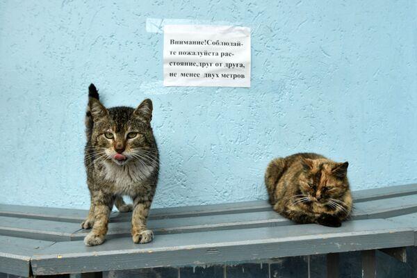 Koty na tle ogłoszenia o konieczności zachowania dystansu społecznego z powodu koronawirusa na przystanku autobusowym w Jałcie - Sputnik Polska