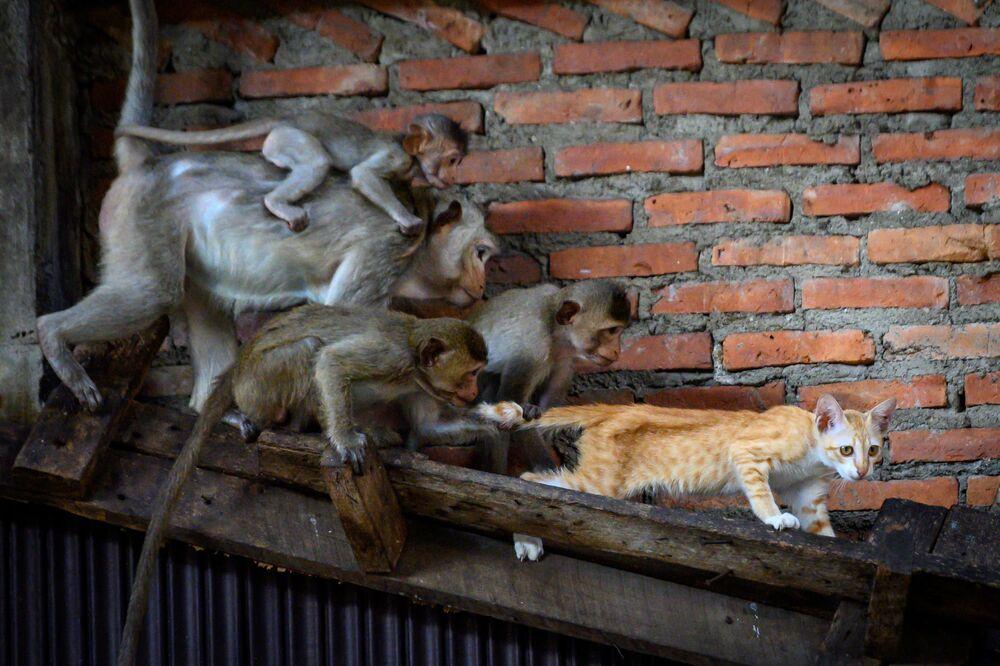 Makaki długoogoniaste przyczepiają się do kota w opuszczonym budynku w Lopburi w Tajlandii