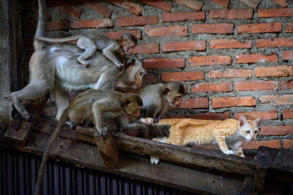 Makaki długoogoniaste przyczepiają się do kota w opuszczonym budynku w Lopburi w Tajlandii - Sputnik Polska