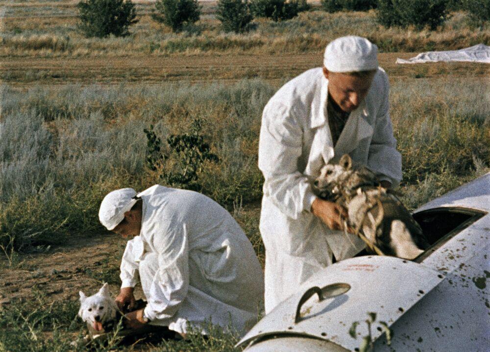 Lekarze wyciągają Biełkę i Striełkę z kabiny satelity na miejscu lądowania