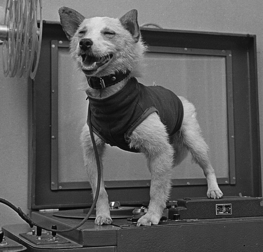 Pies astronauta Biełka