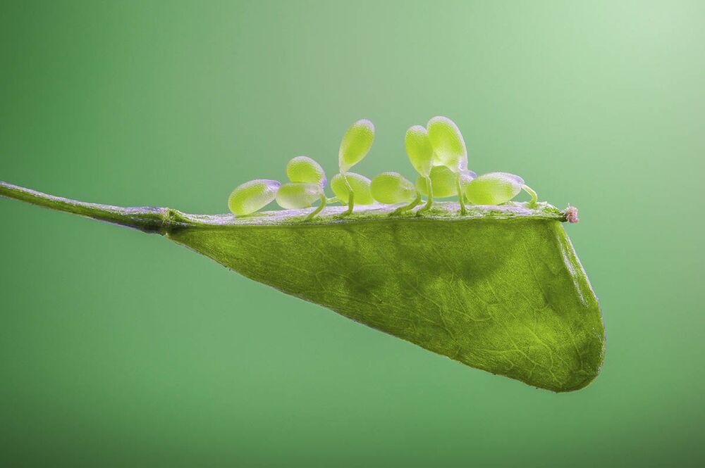 Zdjęcie Shepherd's Purse Seed chińskiego fotografa Zhang Ye Feia. III miejsce w konkursie IGPOTY Macro Art 14.