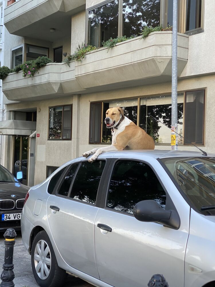 Pies na jednej z ulic Stambułu