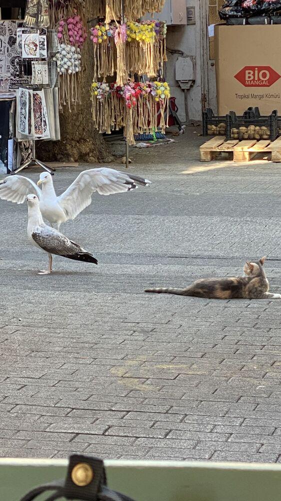 Mewy i kot w Stambule