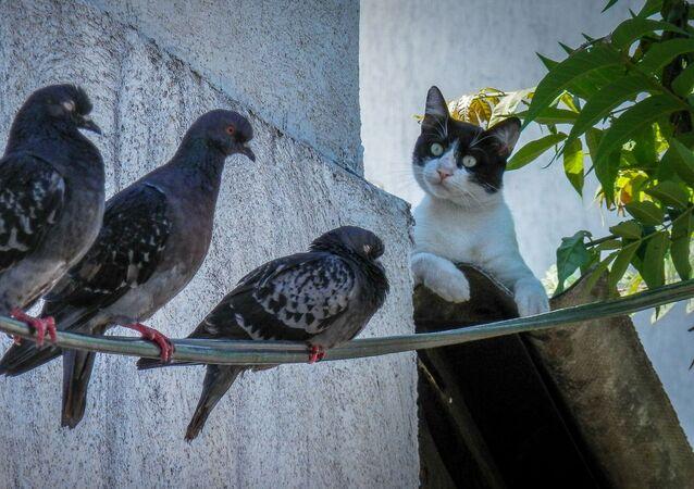 Kot i gołębie