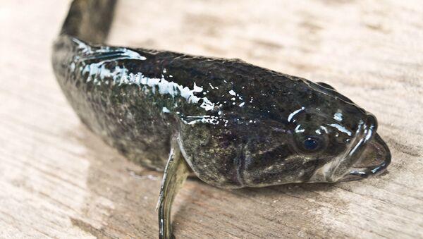 Ryba trawianka - Sputnik Polska