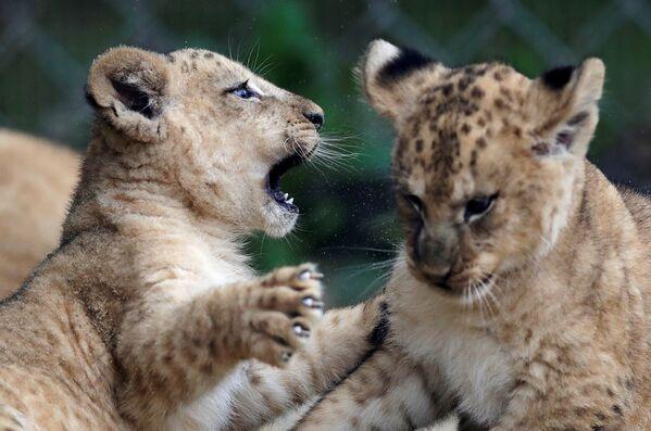 Nowonarodzone lwiątka berberyjskie w ogrodzie zoologicznym w Dvůr Králové nad Labem, Czechy - Sputnik Polska